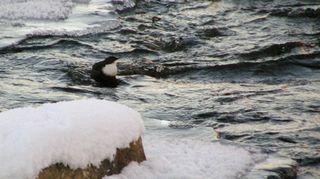 Tunturipurojen lintu koskikara ei kylmää vettä pelkää. Kutunivalla linnulle löytyy vielä syötävää, mutta se on sukellettava pohjan tuntumasta.