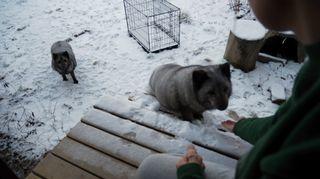 Ihminen syöttää sinikettuja eläinsuojelukeskus Tuulispäässä Somerolla.