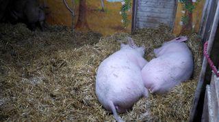 Kaksi emakkoa nukkuu pahnoilla eläinsuojelukeskus Tuulispäässä.