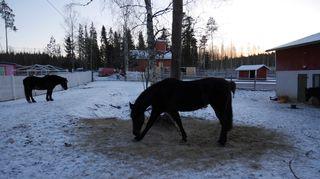 Hevosia eläinsuojelukeskus Tuulispään pihalla.