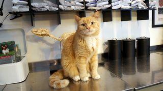 Jalmari-kissa on töissä Sammalon eläinklinikalla.