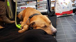 Rescue-koira Logan espanjasta nukutettiin.