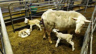 Karitsa imee maitoa emältä.