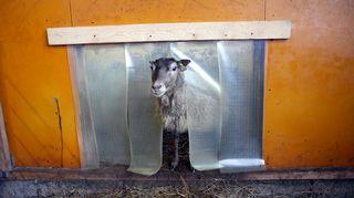 Lammas katselee kulkuaukosta.