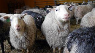 Kaksi lammasta tuijottaa.