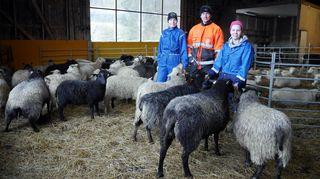 Ihmisiä lampolassa lampaiden ympäröimänä.