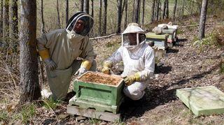 Kaksi miestä suojapuvuiissa mehiläispesän äärellä.