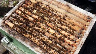 Mehiläispesä.