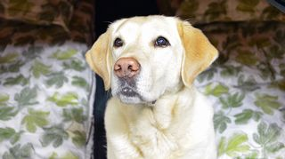 Sini Merikallion Eevi  -koira on uskollinen retkikaveri, joka myös Kesäteltassa kiltisti pötkötteli.