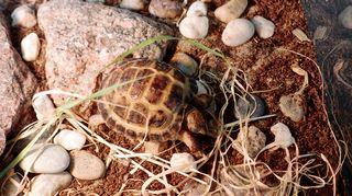 Kilpikonnia on Johannalla vain yksi
