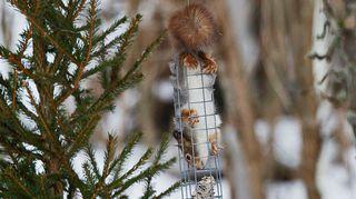 Orava talihäkissä.