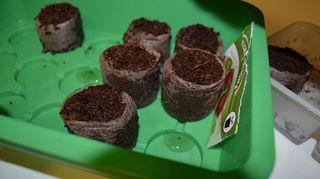 Yhteen kasteltuun nappiin laitetaan kaksi siementä