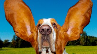 koiran korvat, kuuluvuus