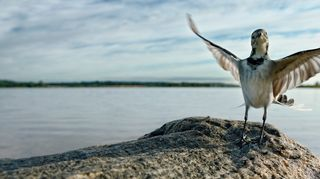 Linnuntie – kesäntuojien kesytön muuttomatka
