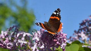 Perhoset kertovat luonnon monimuotoisuudesta. Kuvassa amiraaliperhonen.