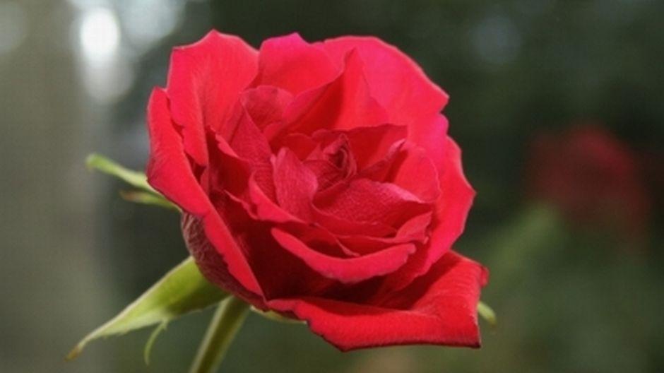 aikuiskoulutus kuopio keltainen ruusu helsinki