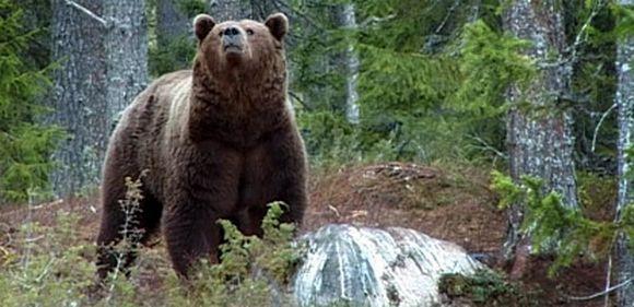 Karhu nuuhkii ilmaa