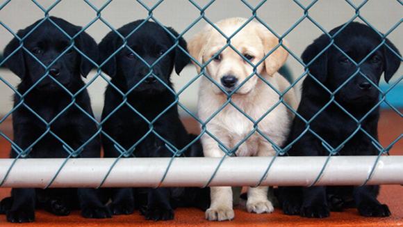Labradorinnoutajan pentuja.