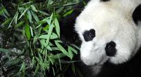 Pandakarhu söi bambua Ya'anin pandareservaatissa.