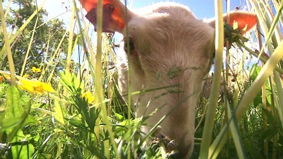 Video: Lammas leikkaa valleilla kortta kovemmin kuin ruohonleikkuri