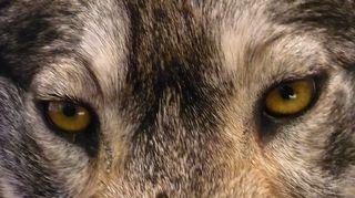 Metsästysmuseon Suden paluu -näyttelyn täytetty susi