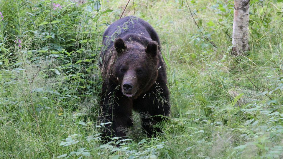 Poronhoitoalueella kaadettu kymmenen karhua  Yle Uutiset  yle fi