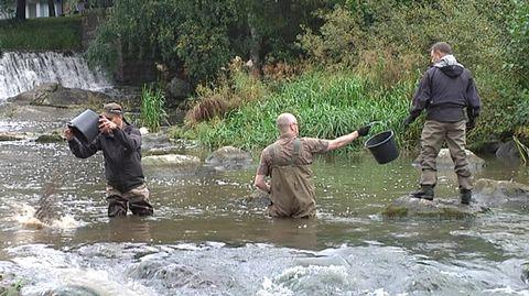 """""""Kalaa käy padolla hakkaamassa päätä seinään paljon"""" – Keravanjoen kalat saivat uuden kutupaikan"""