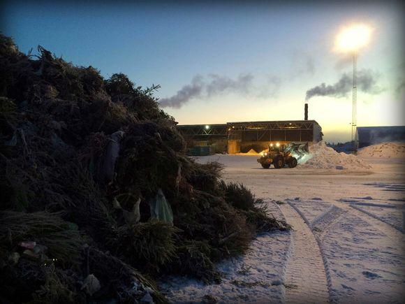 Joulukuuset odottavat viimeistä tuomiotaan Espoon Ämmässuolla. Kuusista syntyy haketta, joka on kompostoinnille välttämätön tukiaine.