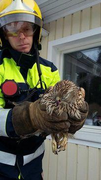 Palomies Ivan Luck ja omakotitalon ikkunaan törmännyt kanahaukka.