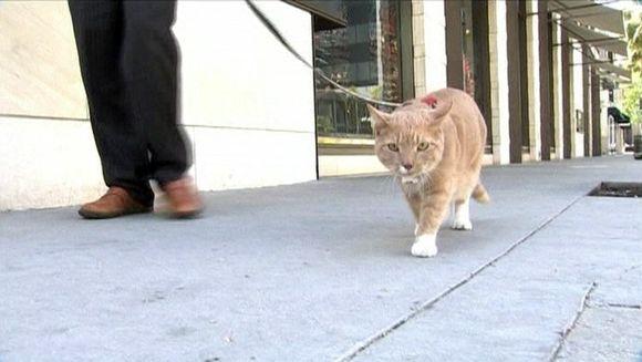 Video: Kissa talutusnuorassa kadulla
