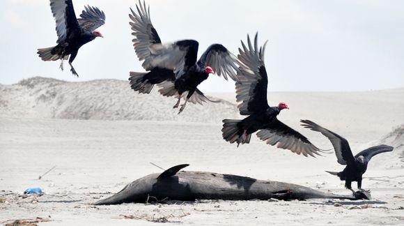 Korppikotkat laskeutuvat kuolleen delfiinin viereen rannalla Perussa.