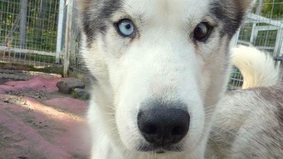 Siperianhusky, jonka vasen silmä on ruskea ja oikea silmä sininen.