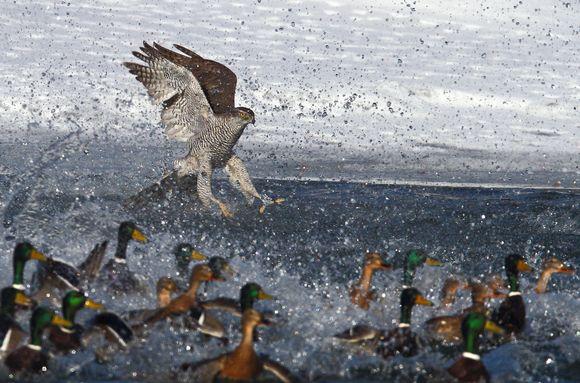 Vuoden lintukuvana palkittu Ari Kuuselan otos nimeltään Paniikki