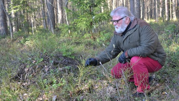 Kauko Salo metsikössä. Mustikanvarpuja.