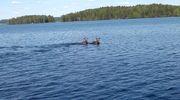 Kaksi hirveä ui Keurusselässä.