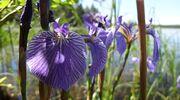 Violetti kukka lähikuvassa.
