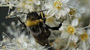 Mehiläinen valkoisessa kukassa.