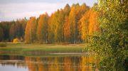 Koivuja ruskassa järvimaisemassa.