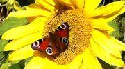 Perhonen auringonkukassa.