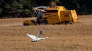 Puimuri pellolla, joutsen lentää pellon yllä.