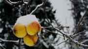 Lumikuormaisia omenoita puussa.