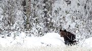 Karhu metsän laidassa lumisessa maisemassa.