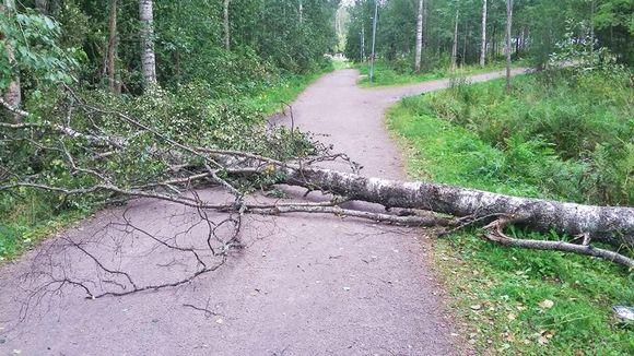 Rauli-myrskyn kaatama puu.