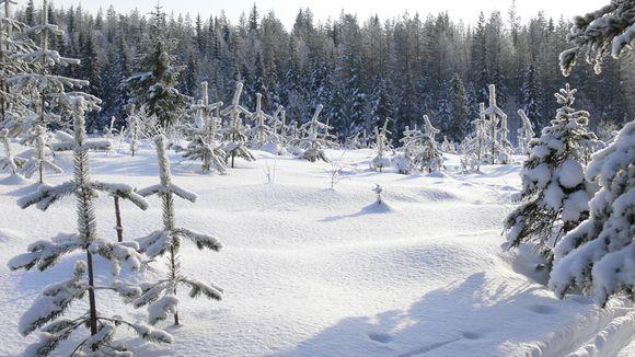 Mäntytaimikkoa talvella.