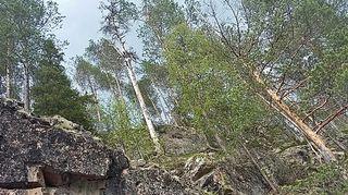 Korkea kallio, jonka päällä on vanhoja puita ja muutamia keloja.
