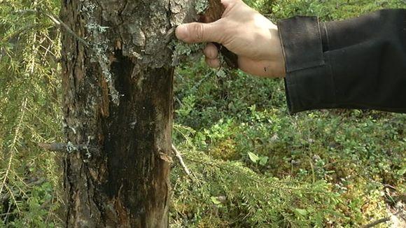 Tervasroso ja puun kuori