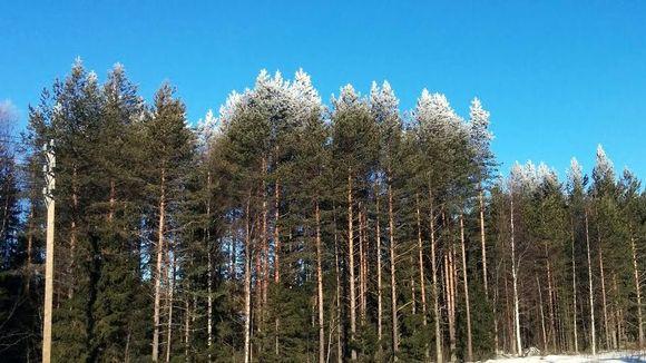 Puiden valkoisia latvoja Nelostiellä Oulu-Kemi-välillä.