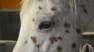 Lähikuva hevosen päästä ja silmästä.