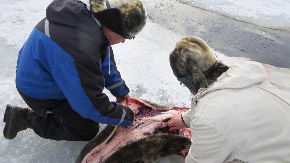 Hylkeenpyytäjä Jouni Heinikoski nylkee hyljettä yhdessä sen ampuneen Sauli Kehuksen kanssa.