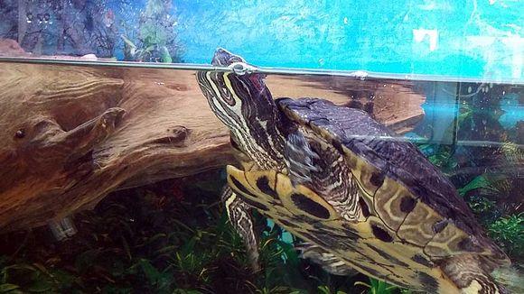 Vesikilpikonna akvaariossa
